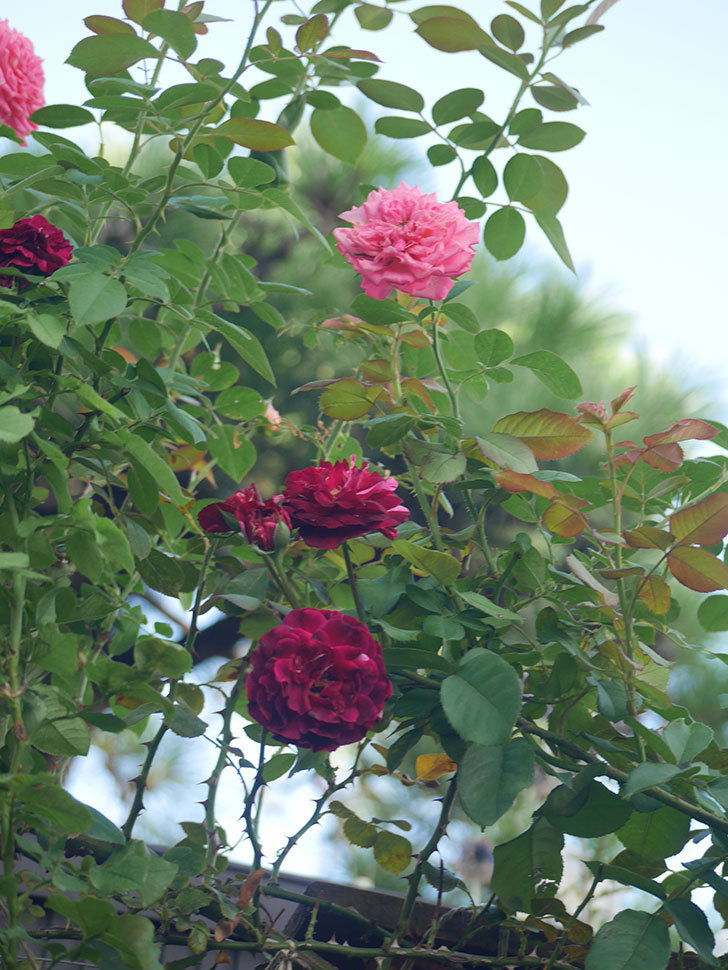 ニュー・イマジン(New Imagine)の夏花が咲いた。半ツルバラ。2021年-004.jpg
