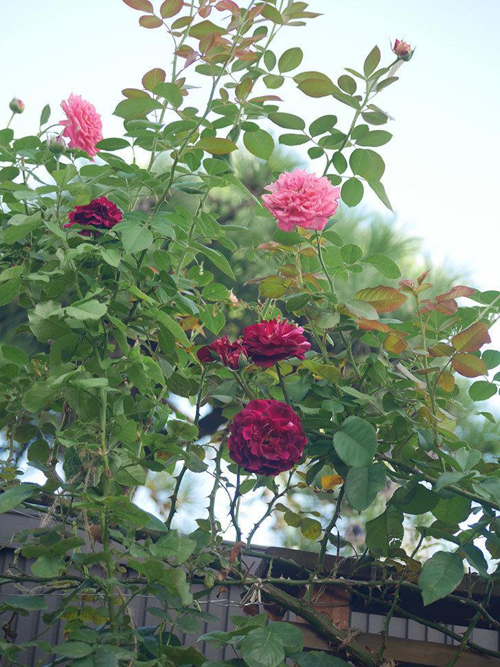 ニュー・イマジン(New Imagine)の夏花が咲いた。半ツルバラ。2021年-005.jpg