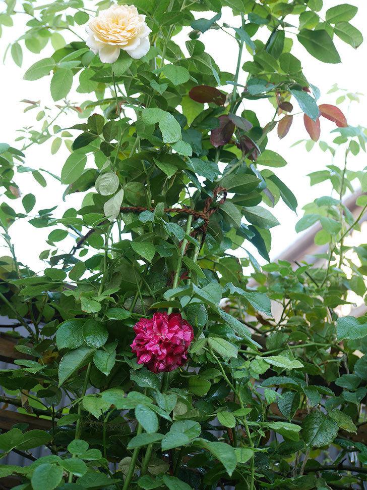 ニュー・イマジン(New Imagine)の夏花が咲いた。半ツルバラ。2021年-008.jpg