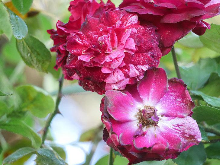 ニュー・イマジン(New Imagine)の夏花が咲いた。半ツルバラ。2021年-009.jpg