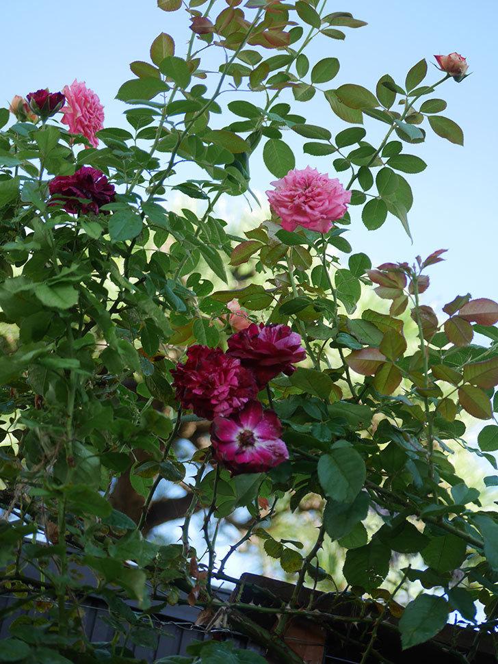 ニュー・イマジン(New Imagine)の夏花が咲いた。半ツルバラ。2021年-011.jpg
