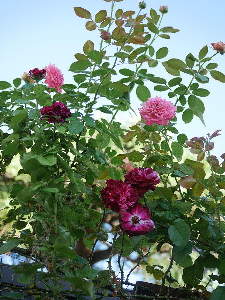 ニュー・イマジン(New Imagine)の夏花が咲いた。半ツルバラ。2021年-012.jpg