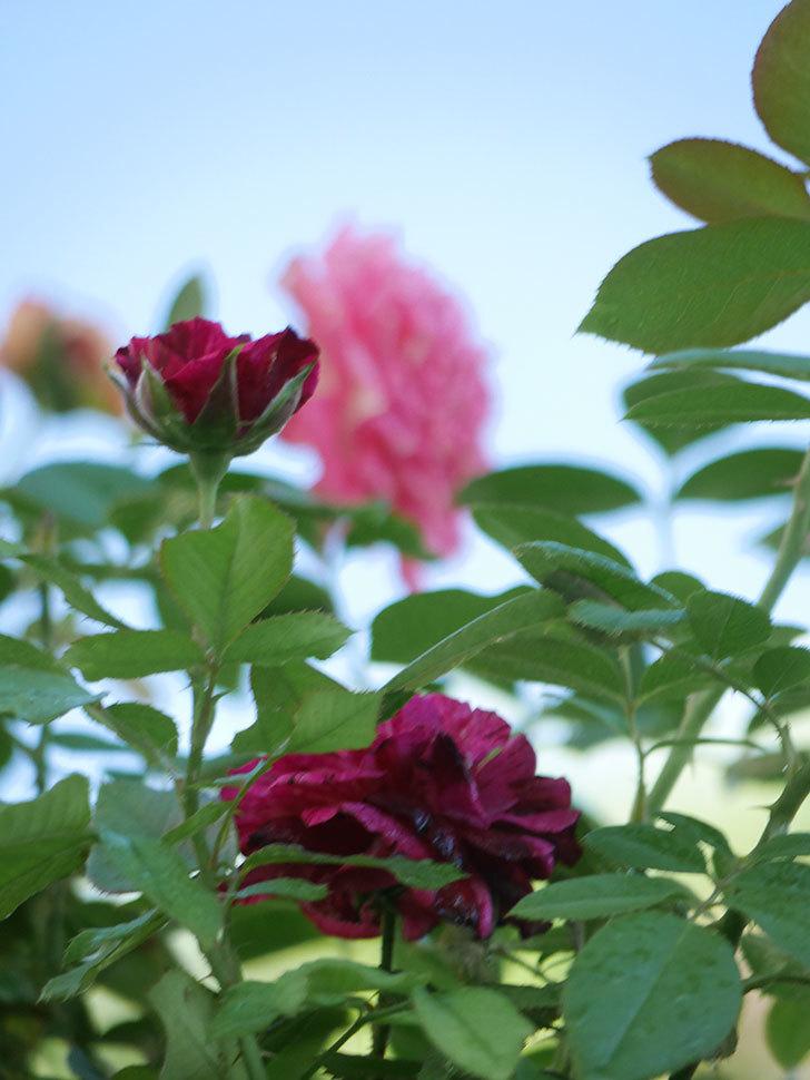 ニュー・イマジン(New Imagine)の夏花が咲いた。半ツルバラ。2021年-017.jpg