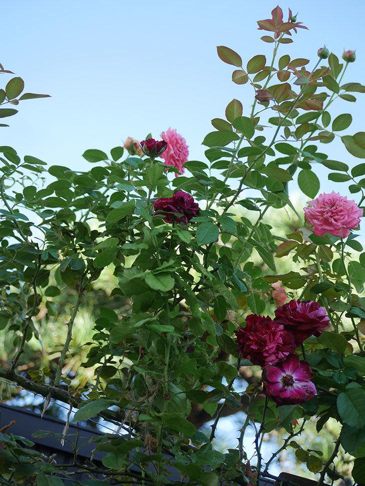 ニュー・イマジン(New Imagine)の夏花が咲いた。半ツルバラ。2021年-018.jpg