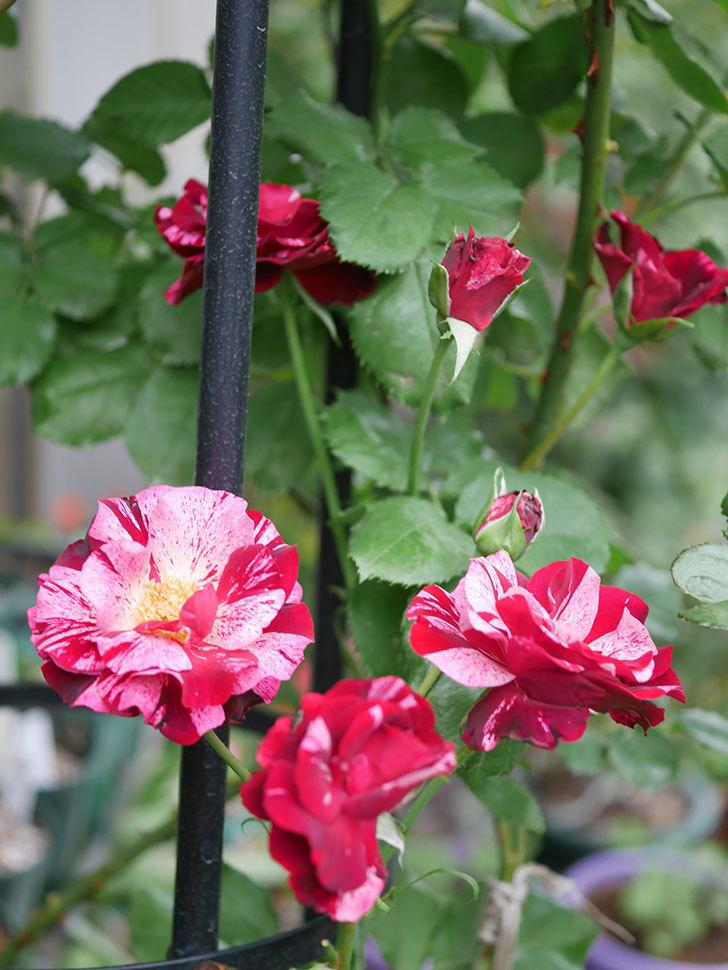 ニュー・イマジン(New Imagine)の残っていた2番花が咲いた。半ツルバラ。2020年-001.jpg