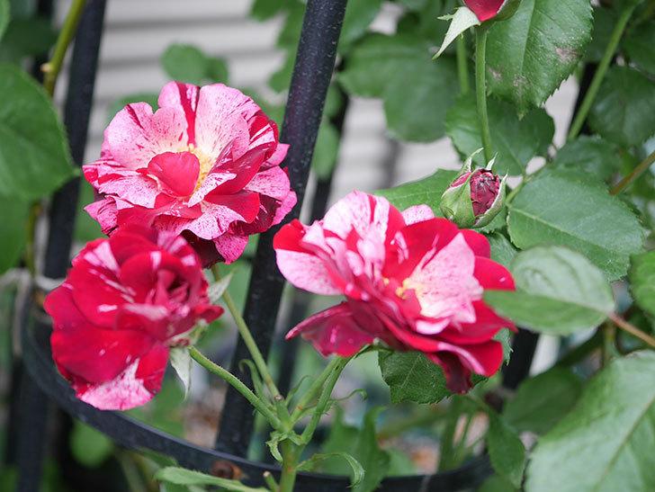ニュー・イマジン(New Imagine)の残っていた2番花が咲いた。半ツルバラ。2020年-002.jpg