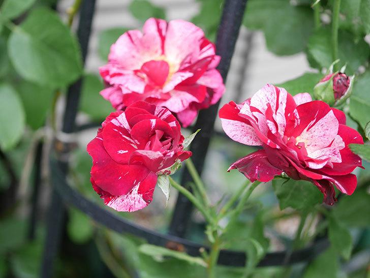 ニュー・イマジン(New Imagine)の残っていた2番花が咲いた。半ツルバラ。2020年-003.jpg