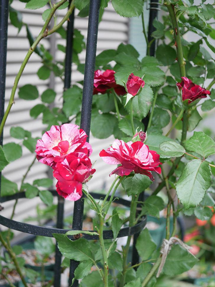 ニュー・イマジン(New Imagine)の残っていた2番花が咲いた。半ツルバラ。2020年-004.jpg