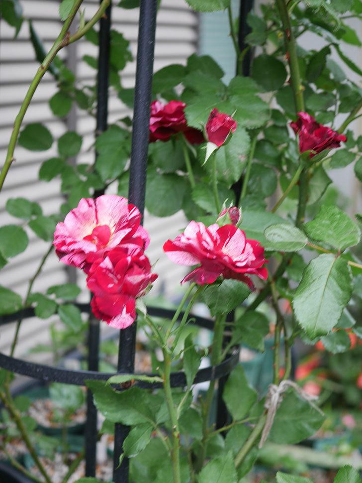 ニュー・イマジン(New Imagine)の残っていた2番花が咲いた。半ツルバラ。2020年-005.jpg