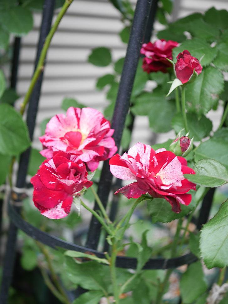 ニュー・イマジン(New Imagine)の残っていた2番花が咲いた。半ツルバラ。2020年-006.jpg