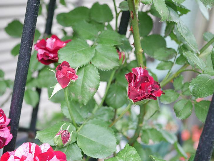 ニュー・イマジン(New Imagine)の残っていた2番花が咲いた。半ツルバラ。2020年-007.jpg