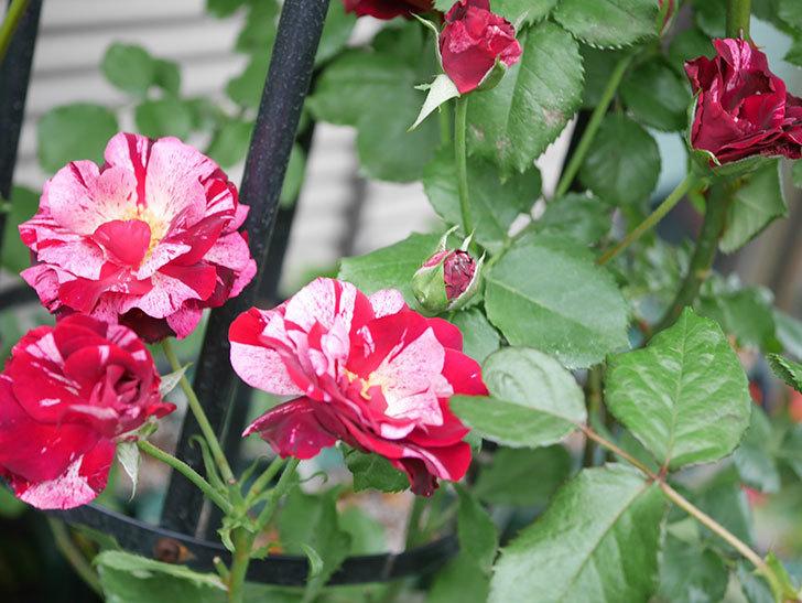 ニュー・イマジン(New Imagine)の残っていた2番花が咲いた。半ツルバラ。2020年-008.jpg