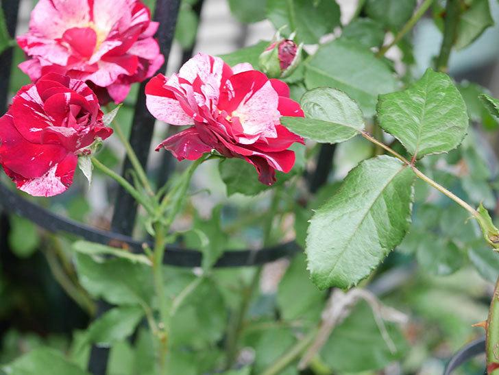 ニュー・イマジン(New Imagine)の残っていた2番花が咲いた。半ツルバラ。2020年-009.jpg