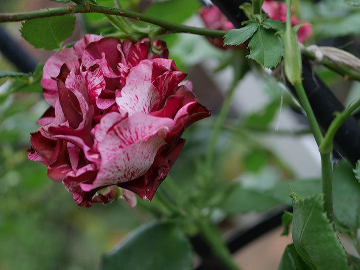 ニュー・イマジン(New Imagine)の残っていた花が咲いた。半ツルバラ。2020年-003.jpg