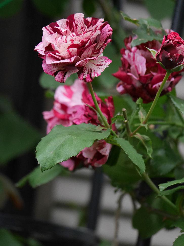 ニュー・イマジン(New Imagine)の残っていた花が咲いた。半ツルバラ。2020年-005.jpg