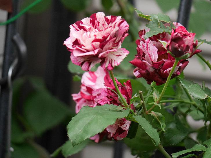 ニュー・イマジン(New Imagine)の残っていた花が咲いた。半ツルバラ。2020年-006.jpg