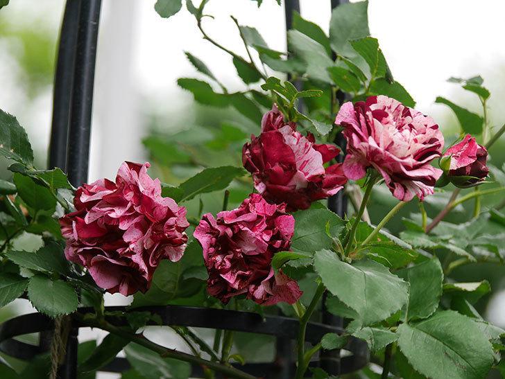 ニュー・イマジン(New Imagine)の残っていた花が咲いた。半ツルバラ。2020年-008.jpg