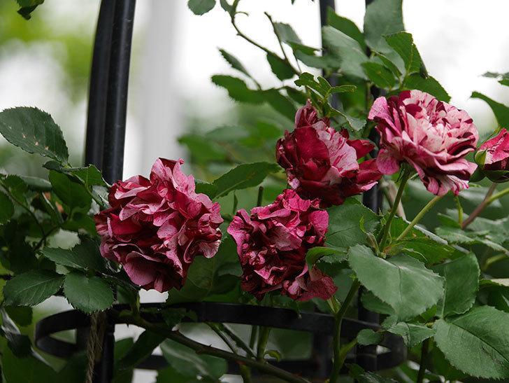 ニュー・イマジン(New Imagine)の残っていた花が咲いた。半ツルバラ。2020年-009.jpg