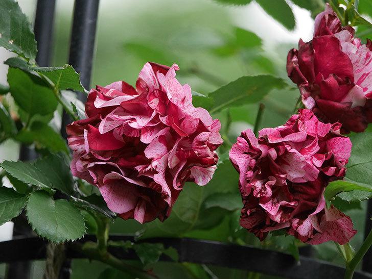 ニュー・イマジン(New Imagine)の残っていた花が咲いた。半ツルバラ。2020年-010.jpg