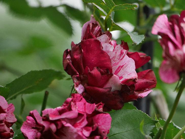 ニュー・イマジン(New Imagine)の残っていた花が咲いた。半ツルバラ。2020年-013.jpg