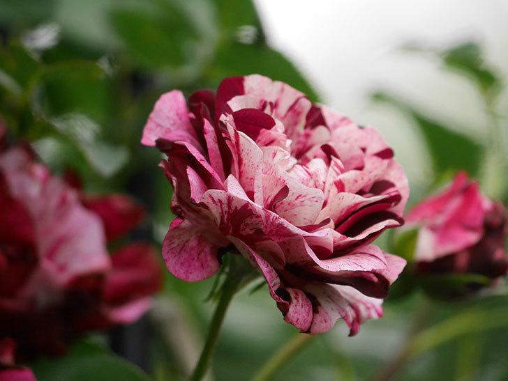 ニュー・イマジン(New Imagine)の残っていた花が咲いた。半ツルバラ。2020年-014.jpg