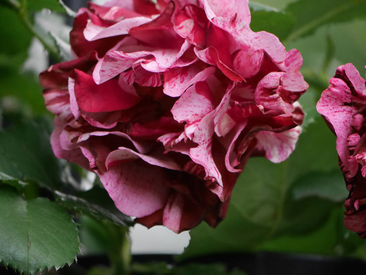 ニュー・イマジン(New Imagine)の残っていた花が咲いた。半ツルバラ。2020年-018.jpg