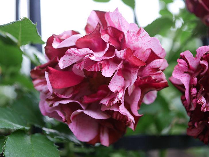 ニュー・イマジン(New Imagine)の残っていた花が咲いた。半ツルバラ。2020年-020.jpg