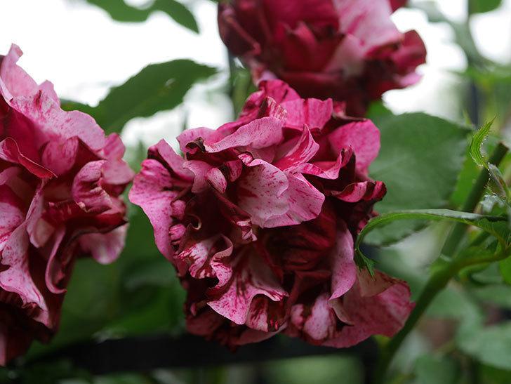 ニュー・イマジン(New Imagine)の残っていた花が咲いた。半ツルバラ。2020年-021.jpg
