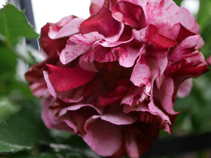 ニュー・イマジン(New Imagine)の残っていた花が咲いた。半ツルバラ。2020年-022.jpg