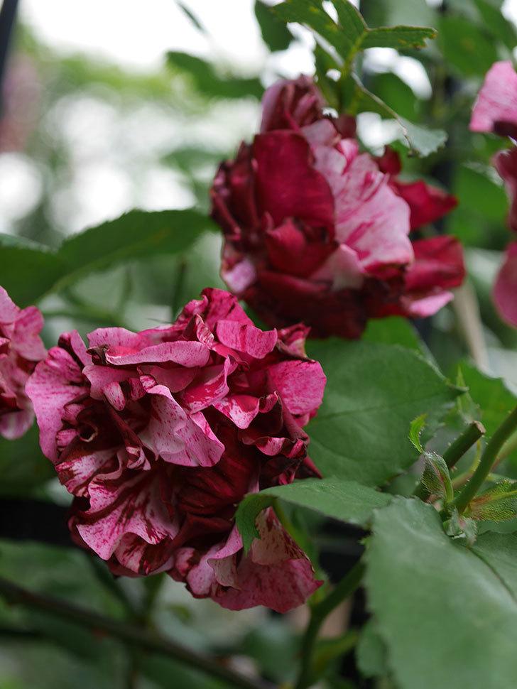 ニュー・イマジン(New Imagine)の残っていた花が咲いた。半ツルバラ。2020年-024.jpg