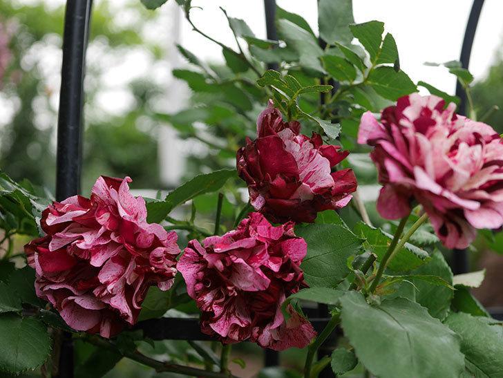 ニュー・イマジン(New Imagine)の残っていた花が咲いた。半ツルバラ。2020年-025.jpg