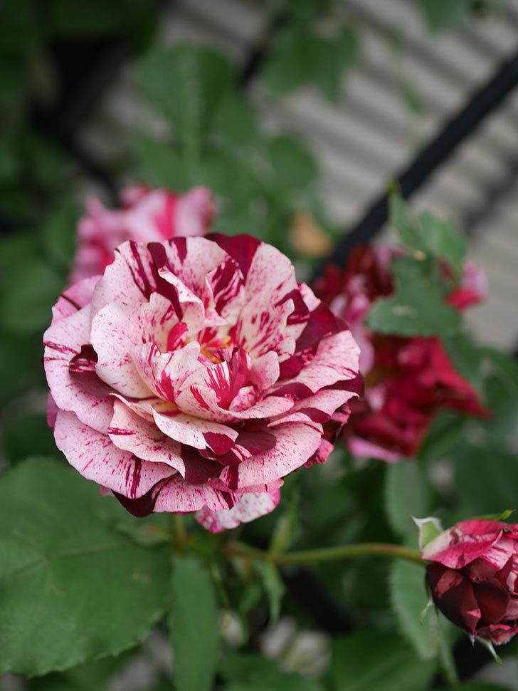 ニュー・イマジン(New Imagine)の残っていた花が咲いた。半ツルバラ。2020年-026.jpg
