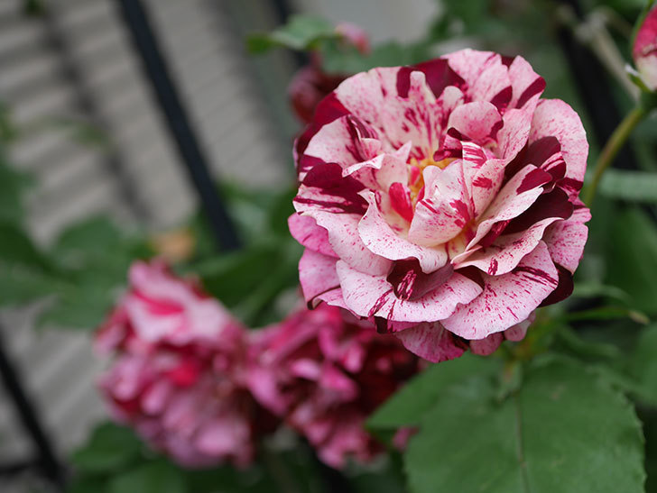 ニュー・イマジン(New Imagine)の残っていた花が咲いた。半ツルバラ。2020年-027.jpg