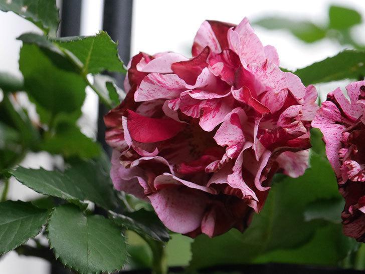 ニュー・イマジン(New Imagine)の残っていた花が咲いた。半ツルバラ。2020年-029.jpg