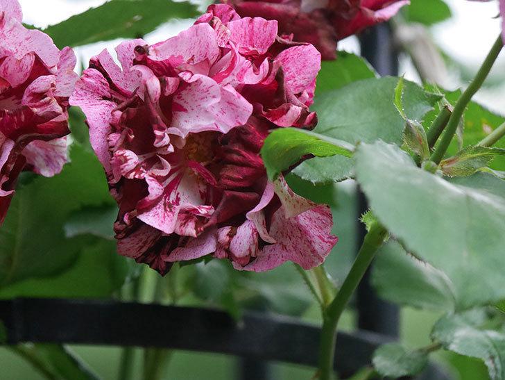 ニュー・イマジン(New Imagine)の残っていた花が咲いた。半ツルバラ。2020年-031.jpg
