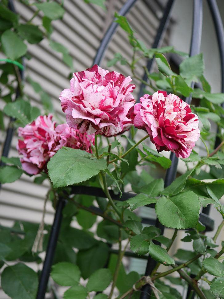 ニュー・イマジン(New Imagine)の残っていた花が咲いた。半ツルバラ。2020年-033.jpg
