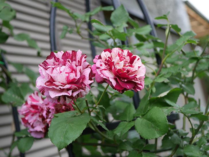 ニュー・イマジン(New Imagine)の残っていた花が咲いた。半ツルバラ。2020年-034.jpg