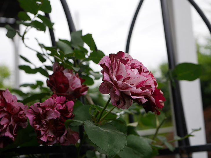 ニュー・イマジン(New Imagine)の残っていた花が咲いた。半ツルバラ。2020年-035.jpg