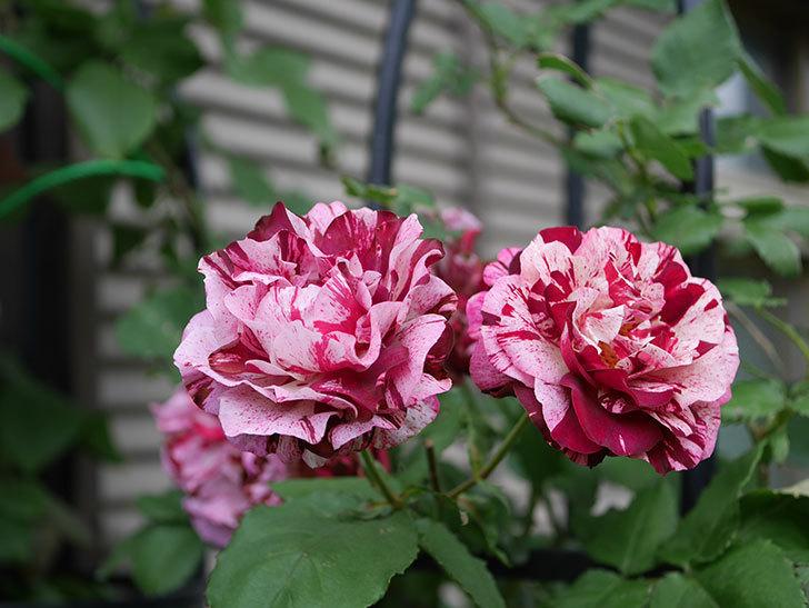 ニュー・イマジン(New Imagine)の残っていた花が咲いた。半ツルバラ。2020年-036.jpg