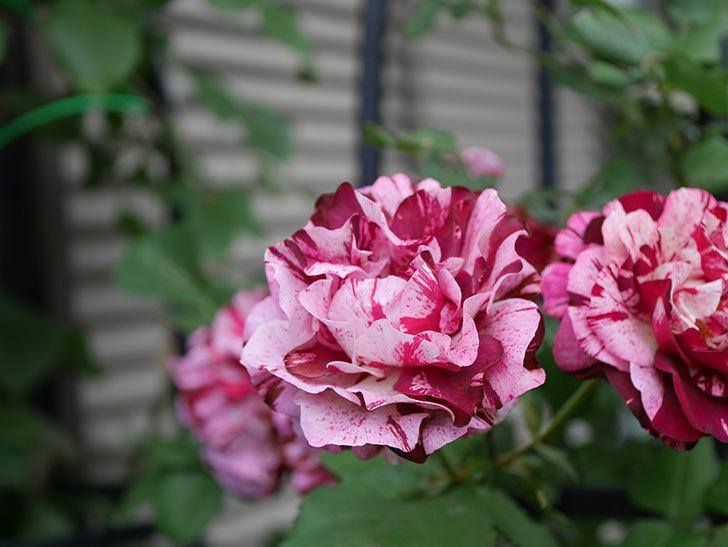 ニュー・イマジン(New Imagine)の残っていた花が咲いた。半ツルバラ。2020年-037.jpg