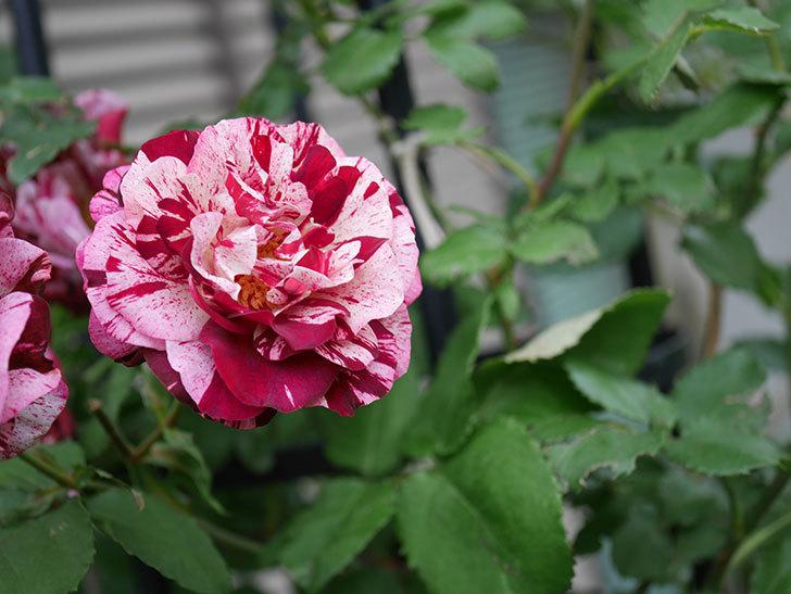 ニュー・イマジン(New Imagine)の残っていた花が咲いた。半ツルバラ。2020年-038.jpg