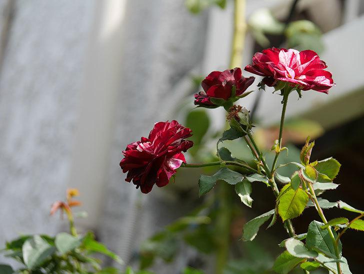 ニュー・イマジン(New Imagine)の秋花が咲いた。半ツルバラ。2020年-001.jpg