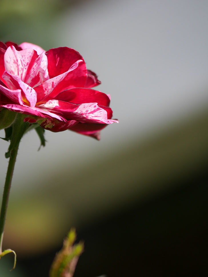 ニュー・イマジン(New Imagine)の秋花が咲いた。半ツルバラ。2020年-011.jpg