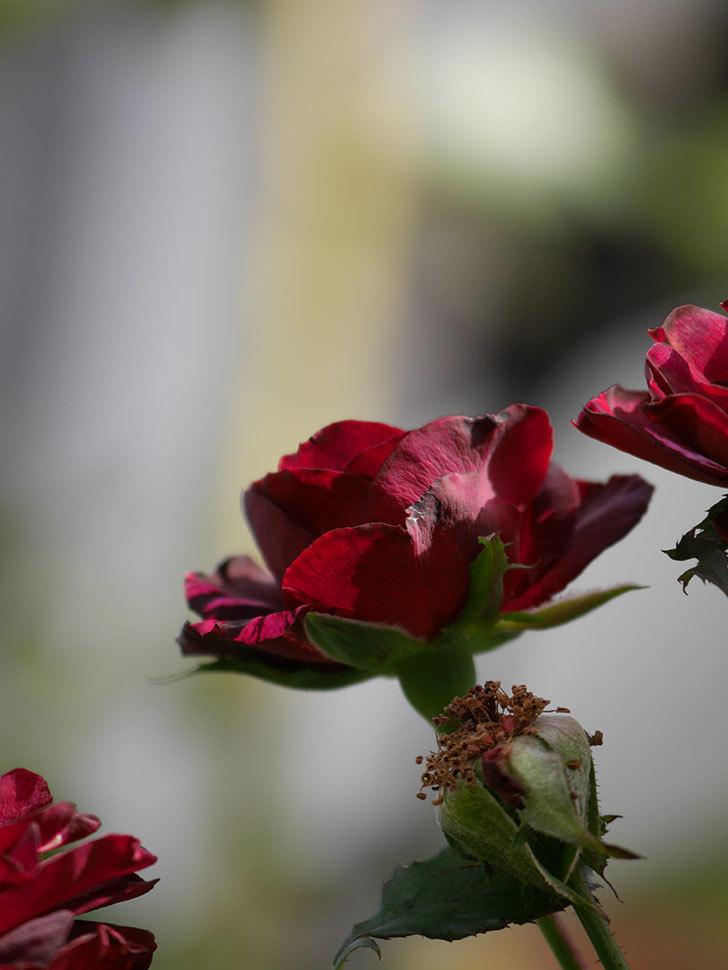 ニュー・イマジン(New Imagine)の秋花が咲いた。半ツルバラ。2020年-012.jpg