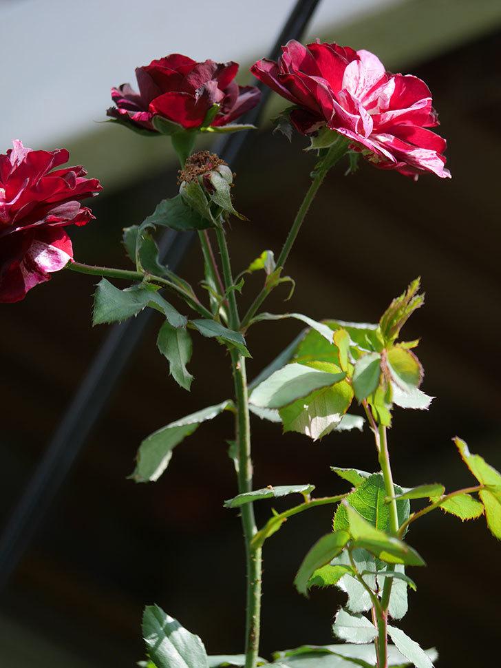 ニュー・イマジン(New Imagine)の秋花が咲いた。半ツルバラ。2020年-014.jpg