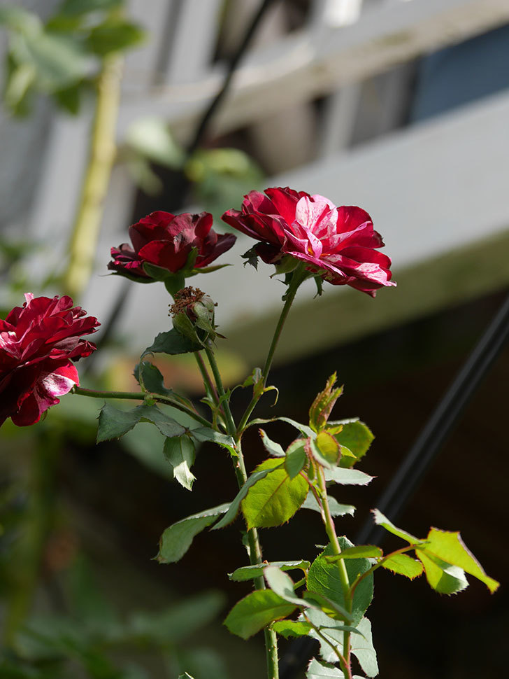 ニュー・イマジン(New Imagine)の秋花が咲いた。半ツルバラ。2020年-016.jpg