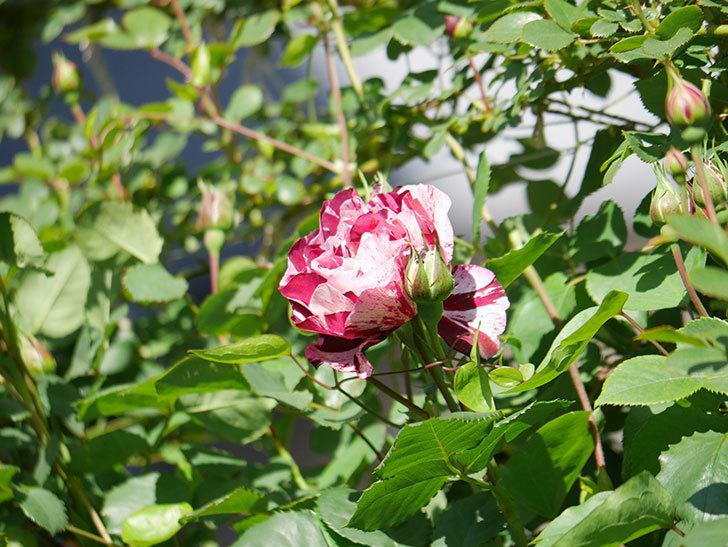 ニュー・イマジン(New Imagine)の花が咲いた。半ツルバラ。2021年-003.jpg