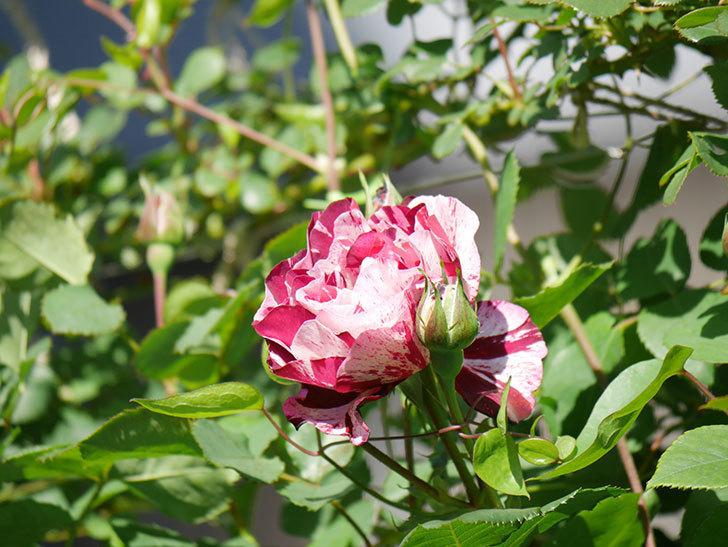 ニュー・イマジン(New Imagine)の花が咲いた。半ツルバラ。2021年-004.jpg
