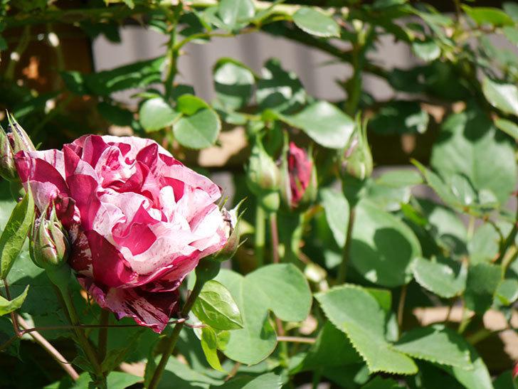 ニュー・イマジン(New Imagine)の花が咲いた。半ツルバラ。2021年-008.jpg