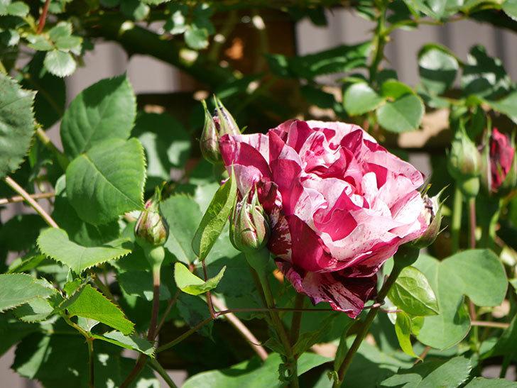 ニュー・イマジン(New Imagine)の花が咲いた。半ツルバラ。2021年-009.jpg
